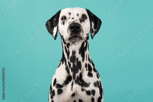 Canvastavla Portrait Of A Dalmatian Dog Looking At The Camera On A Blue Background