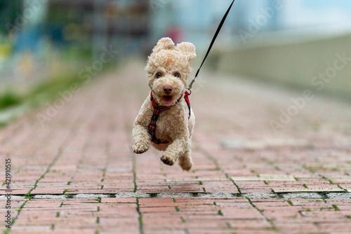 Dog Walking On Footpath Fototapeta