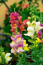 "Snapdragon Flowers. ""Antirrhinum Majus"" Of Various Colors. Colorful Flowers"