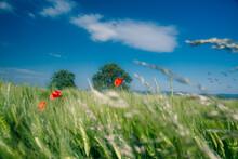 Poppies Growing In A Wheat Field In Springtime, Switzerland
