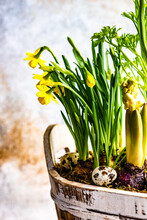 Yellow Daffodils, Anemones And Hyacinths Growing In A Rustic Easter Plant Decoration