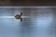 Great Crested Grebe (Podiceps Cristatus) Swimming On The Lake In A Morning Spring