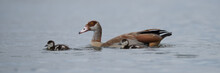 Egyptian Goose Swimming In Lake With Gosling