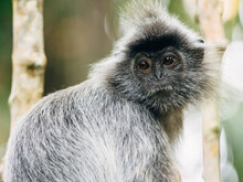 Silvery Lutung In Bako Bational Park, Borneo