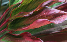 Macro Wet Red And Green Tropical Ti Plant Leaves