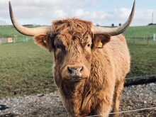 Portrait Of Highland Cattle On Field