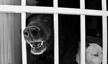 Blacky Dog