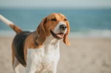 Perro Beagle Con Mirada Atenta En La Playa