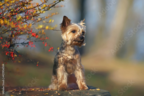 Leinwand Poster Adorable Yorkshire Terrier dog with a puppy haircut posing outdoors sitting near
