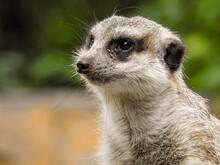 Meerkat Is A Member Of The Mongoose Family.