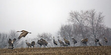 Sandhill Cranes During The Spring Migration At Goose Pond Fish And Wildlife Area, Indiana