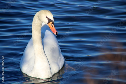 Fotografering Close-up Of Swan Swimming In Lake