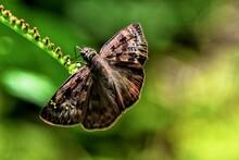 Horace Duskywing Butterfly Feeding On Scorpion Tail Flower