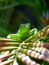 Close-up Of Baby Iguana On Leaf
