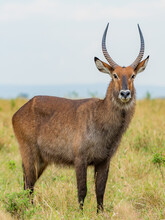 A Male Waterbuck In The Wild