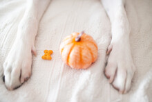 Dog Paws With A Pumpkin Receiving A Bone Cookie As A Gift For Their Good Behavior. Halloween Concept