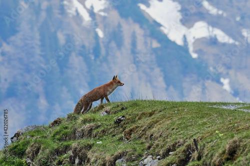 Slika na platnu Fox On A Field In The Mountains