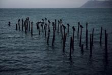 Cormorant Birds Perched On Wooden Poles In The Black Sea, Russia