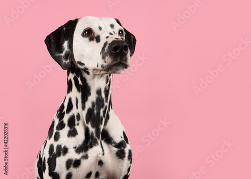 Tablou Canvas Portrait Of A Dalmatian Dog Looking To The Right On A Pink Background With Space