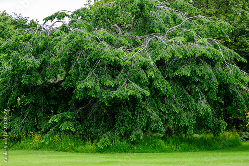 Fototapeta Minimalist monochrome green background with wild azalea or Rhododendron plant an old green trees and leaves in a park in a summer day in Scotland, United Kingdom. obraz