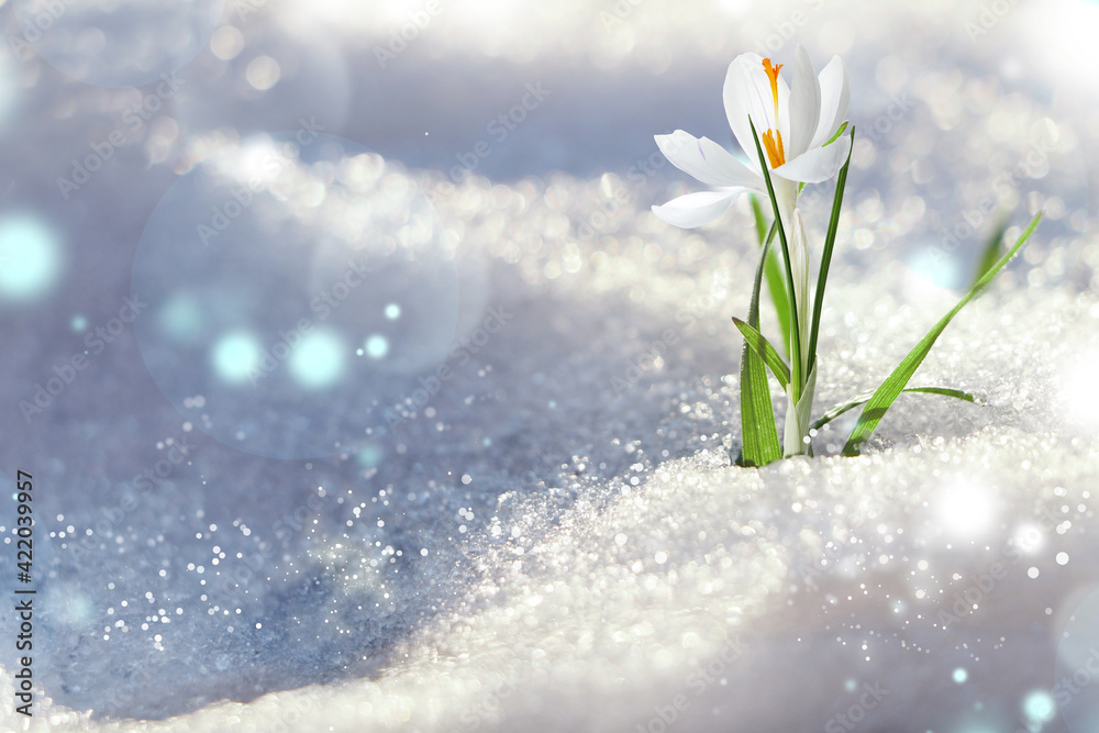 Fototapeta Beautiful spring crocus growing through snow outdoors on sunny day, space for text