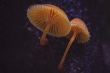 Closeup Shot Of Tiny Orange Mushrooms With A Long Stem Growing In A Forest