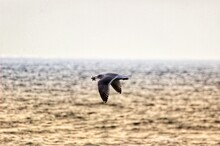 Seagull With A Starfish In Its Beak Flying Over The Ocean In Venice Beach/california