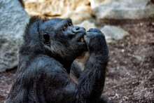 A Black Eating Gorilla In A Park.