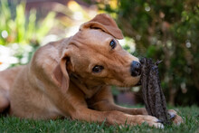 Podenco Puppy Playing With A Bone In A Garden