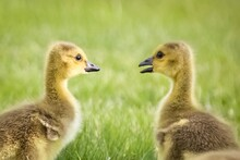 Goslings Chatting