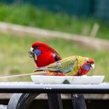 Crimson Rosella On Outside Table Feeding
