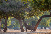 African Elephant Reaching The Tree With His Trunk Up High In Mana Pools