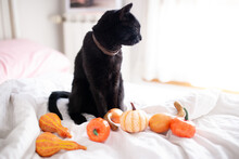 Witch Black Cat With Open Mouth Showing Fangs And Pumpkins On The Bed. Halloween Concept