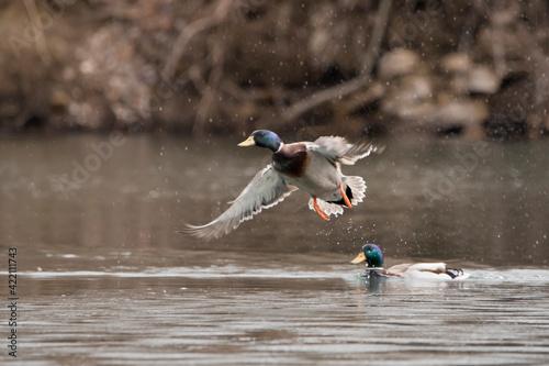Canvas-taulu male mallard duck in flight