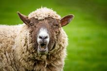 Surprised Looking Sheep