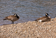 Two Geese On Rock Shore Near Water.