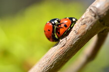 Two Ladybugs Met On A Branch In The Spring.