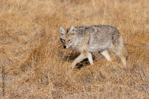 Canvas Print Coyote on the Hunt