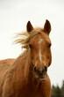 canvas print picture - All die schönen Pferde. Portrait von freien Pferden auf der Weide