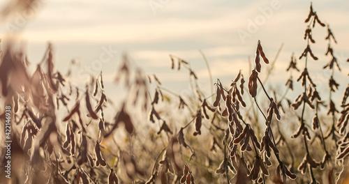 Fotografie, Obraz soybean dry plantation with sky on the horizon sunset view