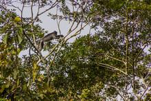 Silvery Lutung (Trachypithecus Cristatus) Near Kinabatangan River, Sabah, Malaysia