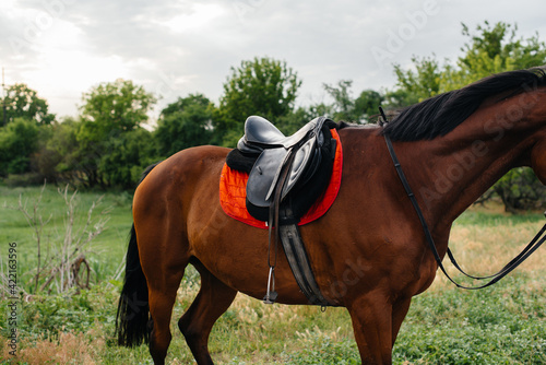 Fototapeta A beautiful well-groomed horse in full gear grazing on a farm among the trees