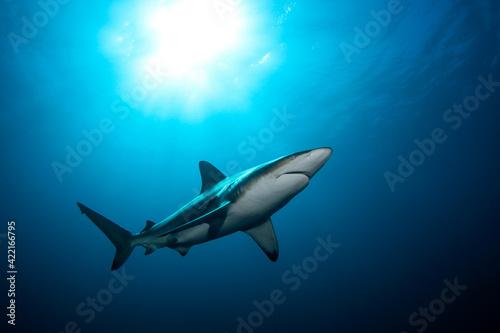Billede på lærred Black tip shark during dive
