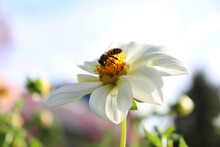 A Honey Bee Collects Nectar On A Large Flower. White Dahlia. Pollination Of Flowers By Insects. Question Of Protecting Bees.