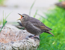 A Young Starlings Eating Dry Worms In A Typical English Garden In UK. Close Up