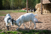 Fight With The Horns Of Two Goats On The Site Near The Stables In The Village.
