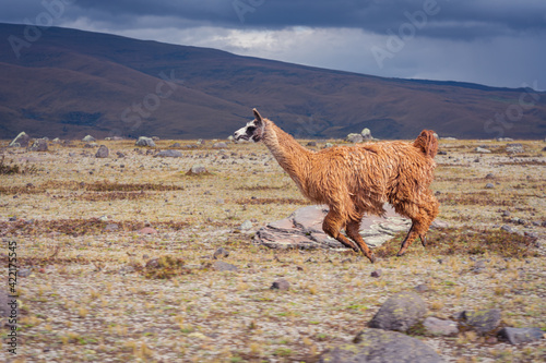 Fototapeta premium Eye-level shot of a single brown llama running on a dry field meadow