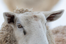 A Closeup Of A Large Domestic Woolly Sheep That Is Staring With Its Eyes Open Wide And Its Ears Sticking Upwards Against A Snowy Background.  The Ewe Has A Large Thick Coat Of Wool With Bits Of Dirt.
