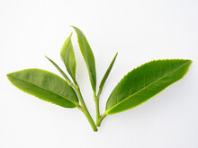 Tea Plant Stems With Green Leaves Isolated In The Light Background