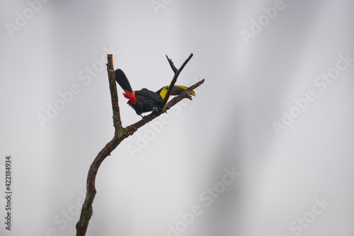 Fotografie, Obraz Single Toucan bird with a large colorful beak perched on a single tree branch un